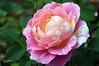 2018-04 Rose Festival (Gemmerkat) Tags: flower rose wisteria lilies floral bloom nikon nikond3200 taipei taiwan roses