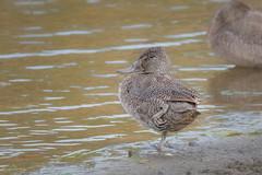 Freckled Duck DSC_9988 (BlueberryAsh) Tags: april2018 freckledduck phillipisland swanlake birds endangered endangeredduck waterbird stictonettanaevosa waterfowl duck australianbird nikond500 tamron150600