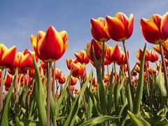 tulpen-1 (jan.snijder) Tags: goereeoverflakkee oudetonge bloembollenvelden