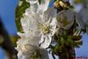 Kirschblüten (Stefan's Gartenbahn) Tags: gewöhnliche kuhschelle garten blume blumen blüte blüten ranunculaceae pulsatilla vulgaris küchenschelle hahnenfusgewächs outdoor schärfentiefe pflanze krokus krokusse christrose frühling frühlingsboten biene bienen tamron macro 18400mm f3563 di ii vc hld makro kirschblüten kirschblüte