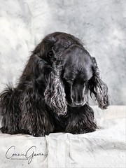 15/52 - Sammy (conniegavin12) Tags: 52weeksfordogs fieldspaniel spaniel dog pet