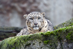 Snow leopard looking at me (Tambako the Jaguar) Tags: snowleopard big wild cat portrait looking face stone rock moss basel zoo zolli switzerland nikon d5