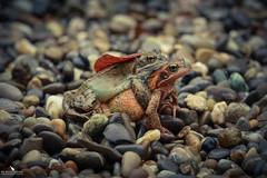 Carrying the Groom (pbmultimedia5) Tags: swiss water frog pond nature pebbles macro wildlife pbmultimedia