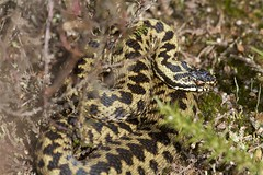 IMG_9370 (Sula Riedlinger) Tags: adder adderviperaberus viperaberus viper snake reptile ukwildlife uknature ukreptile nature nationalnaturereserve surrey surreywildlife surreyheathland wildlife wildlifephotography herpetology