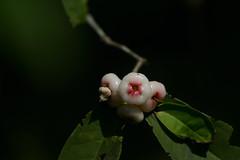 Love apple, the local name, Goa India (JohnMannPhoto) Tags: loveapple thelocalname goaindia