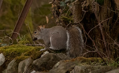 If Columbo was a Squirrel... (xDigital-Dreamsx) Tags: nature wildlife forest woodland wald woods animal rural coth ngc grey squirrel coth5 npc