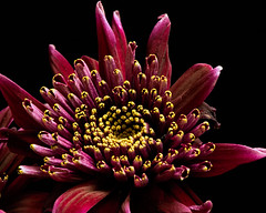 Purple Mum 1120 (Tjerger) Tags: nature flower bloom blooming plant natural flora floral blackbackground portrait beautiful beauty black fall wisconsin macro closeup yellow purple sicgle mum winte