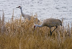 Sandhill Cranes JHK00970 (jhk1957) Tags: birds cranes sandhill sandhillcranes