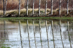 Poplars (Fencejo) Tags: canon600dt3ikissx5 canonef100300mmf4556usm landscape ebro zaragoza nature