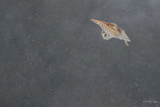 Barn Owl and some wind & snow.