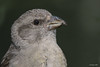 Retrato_piquituerto (Sento74) Tags: piquituerto loxiacurvirostra nikond500 tamron150600g2 aves birds fauna