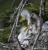 Little Great Egret Chicks!!!! (Christine Fusco) Tags: red greategretchicks greategrets nest babies southcarolina thelowcountry birdswader naturephotography birdphotography