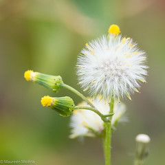 Ten Thousand Wishes (Maureen Medina) Tags: maureenmedina artizenimages dandelion weed yellow flower seed pod orb growth wishes makeawish white
