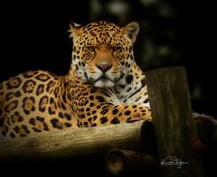 Chincha the Jaguar (yadrad) Tags: jaguar bigcats cats dartmoorzoo dartmoorzoologicalpark ngc animal carnivores carnivore sparkwell