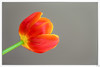 Tulip (Martine Lambrechts) Tags: tulip flower morning nature