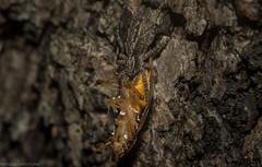 Clynotis severus (dustaway) Tags: arthropoda arachnida araneae araneomorphae salticidae clynotisseverus jumpingspider spiderwithprey spideronbark ironbark canungra sequeensland queensland australia australianspiders