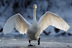 Sangsvane - Whooper swan (Maren Fredagsvik) Tags: sangsvane whooperswan swan svane fugler fugl bird birds trondheim øvreleirfoss leirfossen norge norway trøndelag trondelag vinter winter