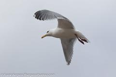 IMG_1305 (fbergess) Tags: bikes birds cars dogs jet otp people planes r44 tumwater washington unitedstates us