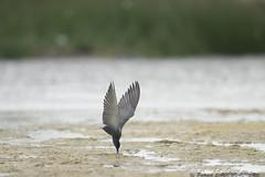 Guifette noire - Chlidonias niger (PatNik01) Tags: charente eau guifettenoir oiseau bird nikon chlidoniasniger france étang vol