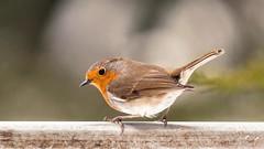 Robin (_John Hikins) Tags: robin bird animal nikon nikkor nature devon d500 torbay torquay garden birds bokeh sigma 150600mm 150600c 150600 songbird wildlife
