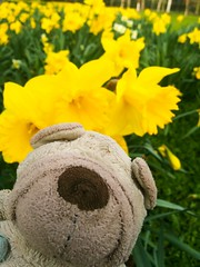 20.03.18 Happy first day of Spring!!! (Wang Wang 22) Tags: cute pug mops nici plüsch sweet hund dog wangwang firstdayofspring spring flowers yellow park