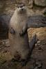 North American River Otter (Jon David Nelson) Tags: riverotter lontracanadensis northamericanriverotter mustelids wildlife education oregon highdesert