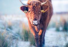 A loyal friend (Ingeborg Ruyken) Tags: dropbox rodegeus februari sunrise winter empelfilmpjewinter2018 dawn frost february flickr cold kanaalpark morning koe empel koud snow 500pxs cow sneeuw natuurfotografie ochtend zonsopkomst vorst morgen