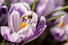 We have lift off! (Mirrored-Images) Tags: bee closeup colour crocus depthoffield flora flowers garden light macro nature outdoor spring