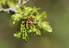 The Miracle of Spring! (RiverCrouchWalker) Tags: spring oak leaves flowers catkins 2018 april rhs rhshydehall rettendon essex green newlyminted themiracleofspring