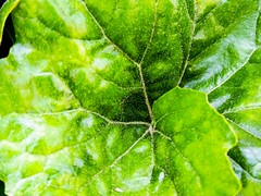 (takashi ogino) Tags: green leaves pentax q7 justpentax 01standardprime color digital
