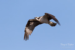 Male Osprey landing sequence - 3 of 28
