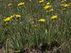 silver arnica, Arnica chamissonis var. incana (Jim Morefield) Tags: bishop california unitedstates asteraceae sunflowerfamily arnica arnicachamissonis arnicachamissonisvarincana angiosperm dicot plant flowers flower blossom bloom wfgna flora wildflower wildflowers cnpsok silverarnica geophyte meadow alpine wetland wilderness northamerica monocounty whitemountains mcafeemeadow mcafeecreek greatbasin whitemountainswilderness inyonationalforest mcafeemeadowrna whitemountainscientificarea eswild july summer olympus evolt e510 olympuse510 jdm20162396 taxonomy:family=asteraceae taxonomy:genus=arnica taxonomy:binomial=arnicachamissonis taxonomy:common=silverarnica taxonomy:trinomial=arnicachamissonisincana geo:alt=3568m yellow orange 5petals manypetals roundcluster
