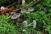 Mycena capillaripes (chug14) Tags: unlimitedphotos champignon pilze mushroom fungus fungi funghi mycenaceae prunuluscapillaripes mycenalangei mycenacapillaripes