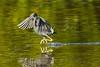 Leaving a water trail (ChicagoBob46) Tags: littleblueheron blueheron heron bird florida jndingdarlingnwr sanibel sanibelisland nature wildlife coth5 ngc npc