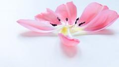 Mother's day petals (John (Thank you for >2 million views)) Tags: petals highkey pink tulip stamen flora stilllife indoorphotography softfocus 7dwf