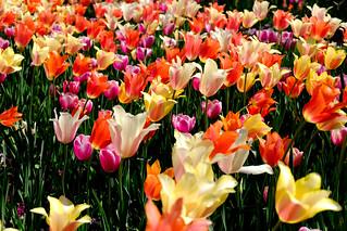 Sea of Tulips