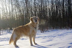 Sunny 12/52 (Lianne (calobs)) Tags: 52 weeks for dogs golden retriever woods sunshine