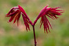 IMG_0030 Unfurl for Spring (oldimageshoppe) Tags: new leaves japanesemaple cool cloudy earlyspring