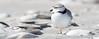 Sleepy Piping Plover (arlene sopranzetti) Tags: barnegat lighthouse state park nj beach jetty piping plover sleepy nap shore bird cute shells sand