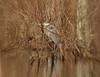 Hunger game........ (l_dewitt) Tags: blueheron greatblueheron heron marsh swamp connecticutwildlife ct newenglandwildlife newlondoncounty newenglandcoast nikon nikonwildlifephotos nikonimages nikonphotos d7100 nikond7100photos nikond7100 nature naturephotos northeast natureimages northamericanwildlife uswildlife earthnaturelife globalbirdtrekkers wildlifephotos wildlife wildlifeimages winter wildbird water nationalwildlifemagazinephotogrouppool native naturepreserve hungergame southeasternconnecticut southernnewengland