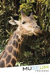 79x54mm// Giraffe Twiga // Muséum de Toulouse