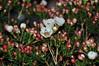 Chamelaucium uncinatum Moonlight Delight (douneika) Tags: chamelaucium uncinatum moonlight delight mirtaceae