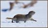 Sunday Stroll - +5800 views - THANK YOU !!! (CrzyCnuk) Tags: richardsonsgroundsquirrel alberta canon canon6d wildlife squirrel