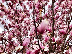 """A great many people think they are thinking when they are merely rearranging their prejudices."" ―William James 🌸 (anokarina) Tags: appleiphone8 🌳 🌺 🌸 forttotten flowers blossoms blooms spring tree magnolia pink white stpaulsepiscopalchurch rockcreekcemetery branches"