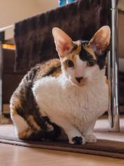 _P1011780_cut (daniel kuhne) Tags: cats katzen cornishrex stubentiger mft epl3