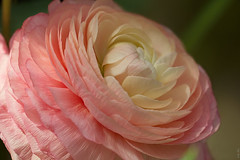 RUS66456(Beauty of Flowers. Ranunculus) (rusTsky) Tags: plant beauty blossom bokeh pink ranunculus sunny nature light canon eos5d close closeup gentle soft