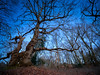 Natures Tracery (Colin-47) Tags: tracery trees branches bare sky march 2018 colin47 panasonicdmcg80 laowa75f2 m43 microfourthirds woodland nature norfolk uk silhouettes