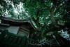 Holy camphor tree (tetsuyakatayama) Tags: nature shrine camphortree tree green japan nagasaki
