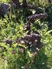 Scultura naturale di Contrada #Martinella #Etna #cru #Linguaglossa (CT) 🌋  #Vivera #Etna and #Sicily #organic #wines #Italy    ✉ info@vivera.it 💻 vivera.it   #nerellomascalese #nerellocappuccio #Carricante #dop #etnawine #etnaland #etnaDO (e.vivera) Tags: nerellocappuccio dop etnawine linguaglossa vinivivera vivera winelover vineyard winelovers winery winerytour igtsicilia viveravini organic etna etnaland cru vigneto sicily wines etnadoc sicilia carricante instasicily viverawinery nerellomascalese viverawine italy instasicilia martinella