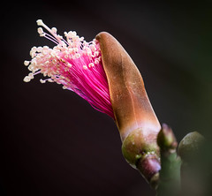 Pseudobombax ellipticum - Red Shaving Brush (Roniyo888) Tags: pseudobombax ellipticum shaving brush flower silky stamen yellow pollen macro red deciduous tree